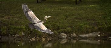 Blue heron in flight Stock Photography