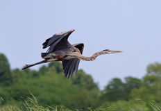 Blue Heron in flight Royalty Free Stock Photography
