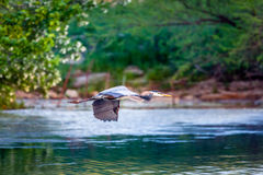 Blue Heron in flight Royalty Free Stock Image