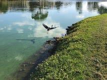 Blue heron in flight. Little blue heron flies over the water Stock Photo