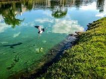 Blue heron in flight. Little blue heron flies over the water Stock Photography