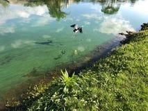 Blue heron in flight. Little blue heron flies over the water Stock Photos