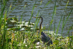 Blue Heron Florida Bird. Blue heron bird taken at Pond in Florida Stock Images