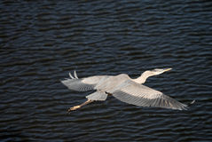 Blue heron flyby Royalty Free Stock Photos