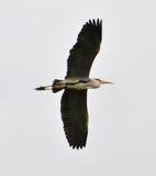 Blue heron flying. On white background Royalty Free Stock Photos