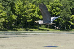 Blue Heron Flying Stock Photo