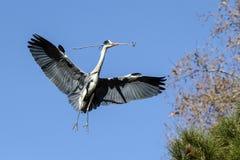 Blue heron Royalty Free Stock Photo