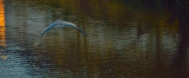 Blue heron flying over a river. Beautiful blue heron flying over a calm river Royalty Free Stock Images