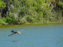 A Blue Heron flying over the water looking for food at Lake Seminole Park in Seminole, Florida. A Blue Heron flying over the water at Lake Seminole Park in Royalty Free Stock Photo