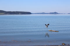 Blue Heron Flying. Photo of a blue heron flying across calm water Royalty Free Stock Images