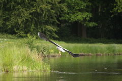 Blue Heron Flying Stock Images