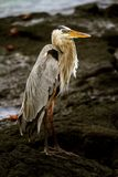 Blue Heron in the Galapagos Stock Image