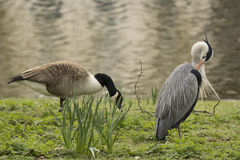 Blue Heron and Goose. Great Blue Heron and Canadian Goose in front of the Boating Lake in Regents Park, London, UK Stock Photos