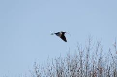 Blue heron Stock Photos