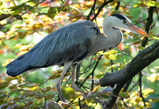Blue Heron. The great blue heron is a large wading bird in the heron family Ardeidae, common near the shores of open water and in wetlands over most of North Stock Photos