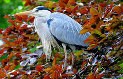 Blue Heron. The great blue heron is a large wading bird in the heron family Ardeidae, common near the shores of open water and in wetlands over most of North royalty free stock image