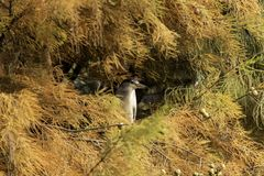 Blue heron hiding in tree Royalty Free Stock Photos