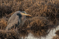 Blue Heron Hunting Stock Photo