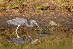 Blue Heron Stock Photography