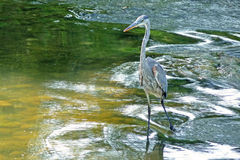 Blue heron hunting in river currents Royalty Free Stock Images