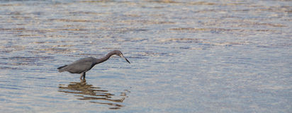 Blue Heron hunting in shallow waters Royalty Free Stock Image