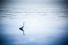 Blue heron in the lake Royalty Free Stock Photo
