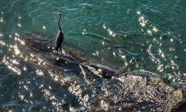 Blue heron on Lake Erie Stock Photo