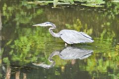 A blue heron in a lake in fall