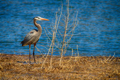 Blue Heron by the lake. A Blue Heron standing near a lake in Montezuma Wildlife Refuge, New York Stock Photos