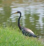 Blue Heron Lakeside Stock Photography