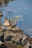 Blue heron, Canada royalty free stock photography