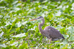 Blue Heron. Royalty Free Stock Images