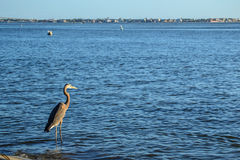 A Blue Heron looks out over the bay. A heron looks out over a Florida bay in the morning Stock Photos
