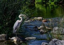 Blue Heron at Los Angeles River Royalty Free Stock Photo