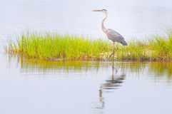 Blue heron in marsh Royalty Free Stock Image