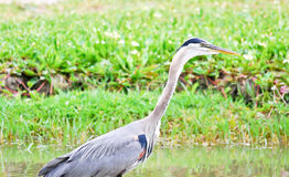 Blue Heron In A Marsh Stock Images