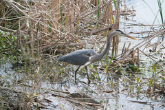 Blue Heron in the marsh Royalty Free Stock Photo
