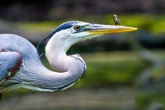 Blue heron and minnow Royalty Free Stock Photos