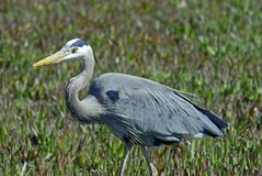 Blue Heron On The Move Stock Image