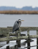 Blue Heron on one leg. A Blue Heron resting on one leg over a frozen river Stock Photo