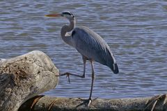 Blue Heron with one leg bent at the knee looking like it is marching Stock Photography