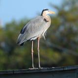 Blue Heron over the bridge Stock Image