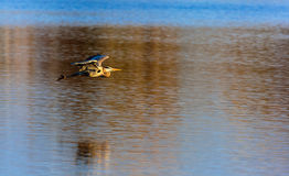 Blue Heron over a Lake Royalty Free Stock Photography