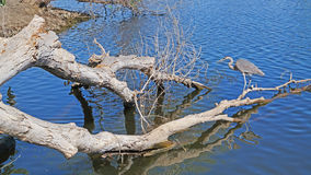 Blue Heron - Panorama Stock Photography