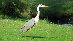 Blue heron in park in Enschede Royalty Free Stock Photos