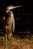 Blue heron peer Royalty Free Stock Photography