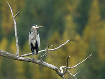 Blue heron perched on branch. Royalty Free Stock Image