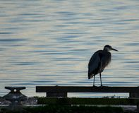 Blue Heron perched on rocks royalty free stock photos
