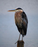 Blue Heron perched on post Stock Images