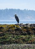 Blue Heron perched on rocks royalty free stock photography